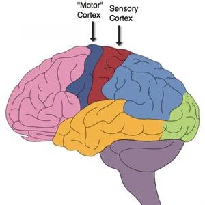 Brain Sensory Motor Cortex