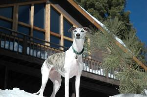 white and grey greyhound outside in the snow
