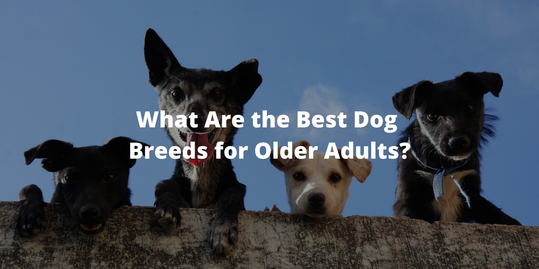 What Are the Best Dog Breeds for Older Adults?